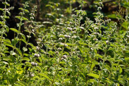 Mentha spicata (Spearmint, Spear Mint) plants and flowers Stock Photo