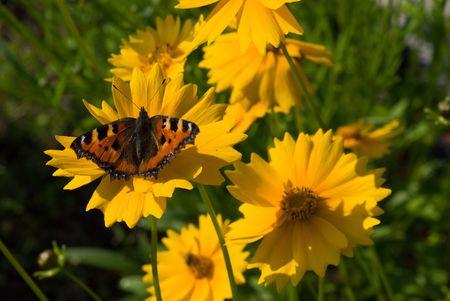 tortoiseshell: Small Tortoiseshell butterfly on Coreopsis flower Stock Photo