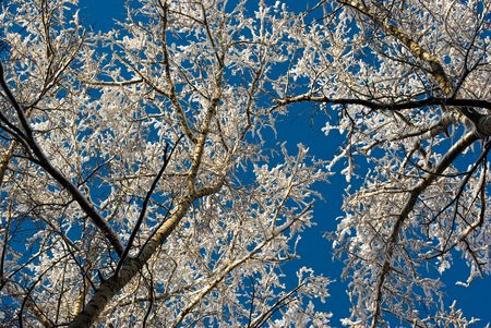 Snow-covered birch branches against blue sky Stock Photo - 6247405