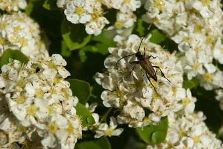 longhorn beetle: Longhorn beetle on Spiraea flowers