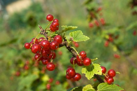 ribes: Redcurrant (Ribes rubrum) berries and leaves