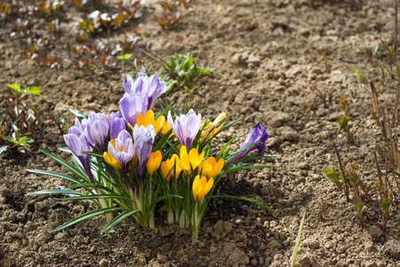 Purple and yellow crocuses in the early spring Stock Photo - 9344987