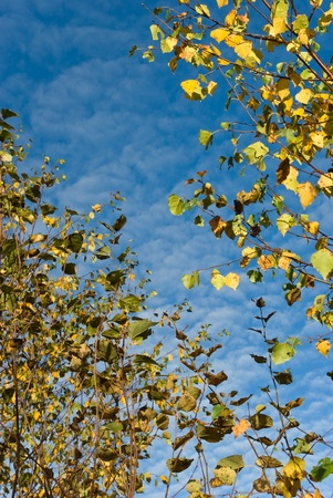 Autumn birch leaves against cloudy blue sky