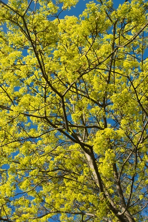 Maple branches with leaves and flowers  photo