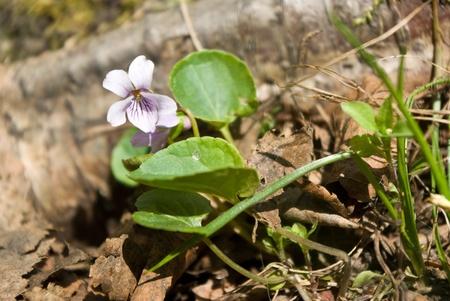 palustris: Viola palustris (Marsh violet) flowers in forest
