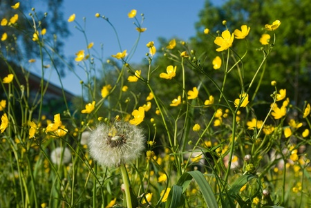 Dandellions and buttercups photo