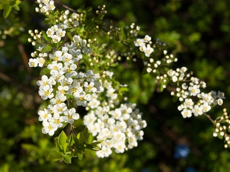 Blossoming spiraea Stock Photo - 10291239