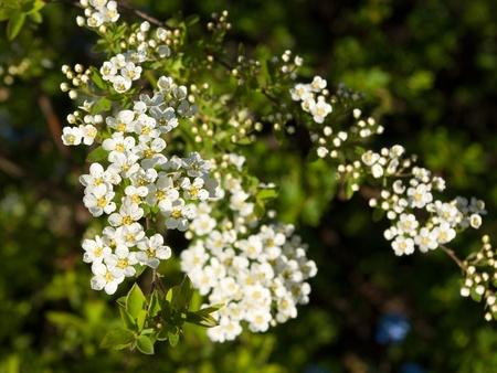 Blossoming spiraea Stock Photo - 10291239