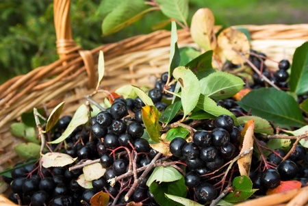 Ripe Chokeberries (Aronia) berries in basket