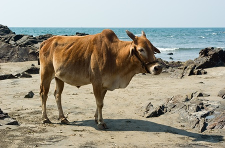Indian cow in the beach of Arabian sea, Goa photo