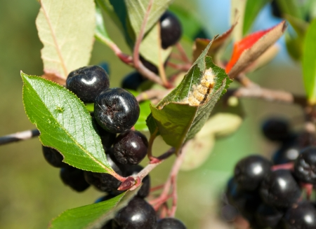 Chokeberries (Aronia)
