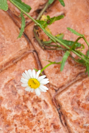 Camomile flower with pink concrete garden walk on background Stock Photo