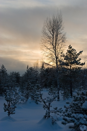 Winter forest landscape at sunset (Saint-Petersburg, Russia)