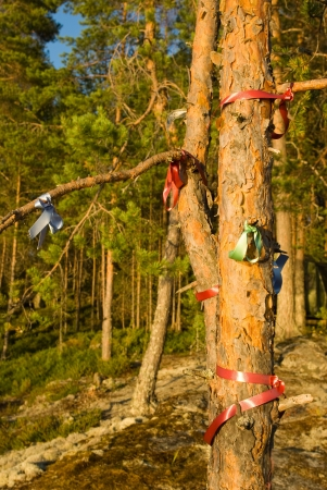 Wish pine tree with color ribbons in forest on Karelian rock, Finland