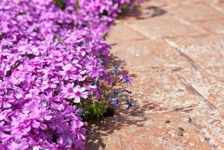 Lilac phlox planting along pink concrete garden walk Stock Photo