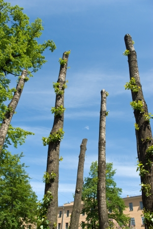 Clipped poplar trunks in Saint-Petersburg (Russia) street in summer sunny day