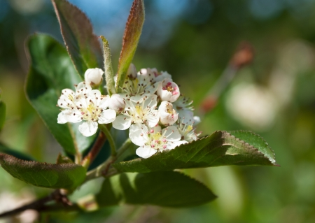 Close-up of flowers and leaves of Chokeberry (Aronia)