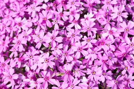 Flower background: lilac phlox