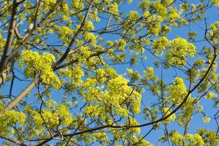Maple branches with leaves and flowers against blue sky