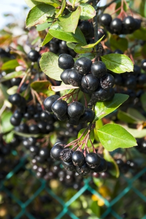 Ð¡hokeberry  Aronia  berries with green wire fence on background