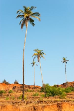 Palm trees on coast of Arabian sea, between Vagator and Anjuna beach in Goa, India