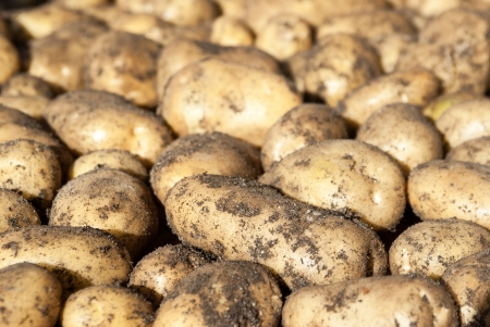 Natural background -white potato tubers in sunlight