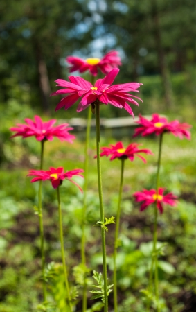 Red aster flowers in sunny day on natural background