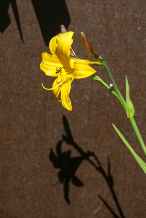 Yellow Daylily (Hemerocallis lilioasphodelus) flowers with shadow on brown background Stock Photo
