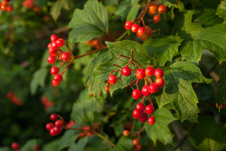 Bunches of Viburnum berries on natural bsckground
