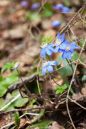 Blossoming hepatica in spring wood in sunlight