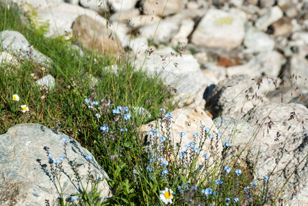 Forget-me-not flowers in mountains, Arkhyz, Karachay?Cherkessia, Russia Stock Photo