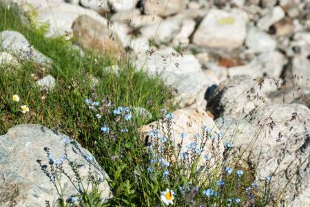 matricaria: Forget-me-not flowers in mountains, Arkhyz, Karachay?Cherkessia, Russia Stock Photo