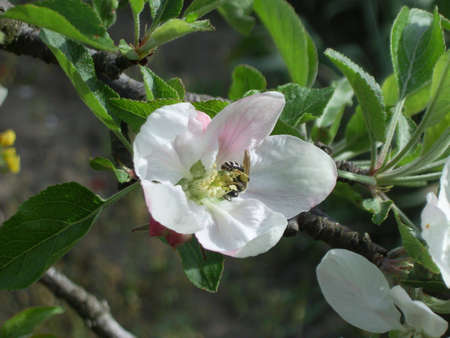 Bee in apple flower