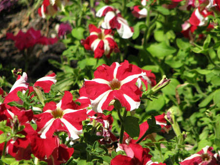 red and white flower Stock Photo