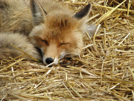 Sleeping fox Stock Photo