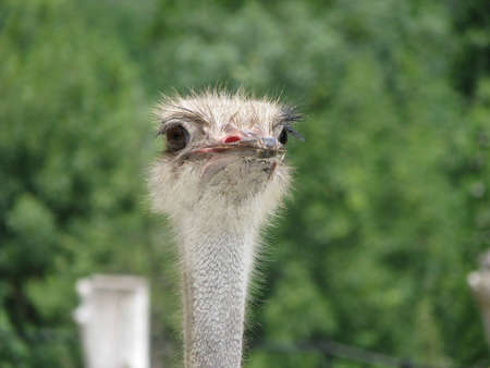 Curious ostrich Stock Photo
