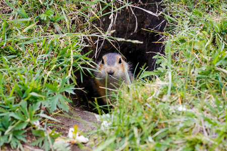 Gopher near his burrow in the steppes of Bashkortostan Stock Photo