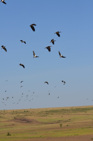 flock of black storks ciconia nigra on flight in Arusha Tanzania Africa