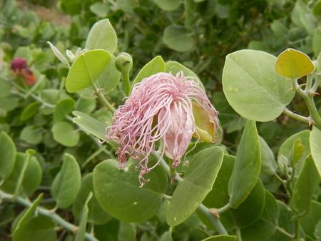 caper: plant and flower caper close to Lake Natron in Tanzania