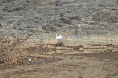 waterhole: Little Egret near waterhole in Lake Natron in Africa