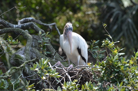 wooden stork in the nest in Florida