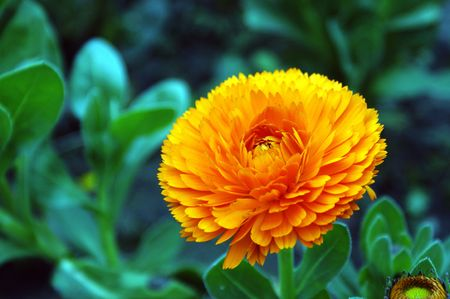 Is in full bloom golden yellow chrysanthemum