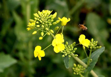 Is in full bloom oil cauliflower, honeybee  Stock Photo