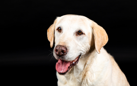 brown labrador dog head in a studio with black background