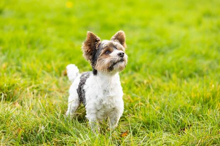 yorkshire terrier outdoor in a park in autumn Stock Photo