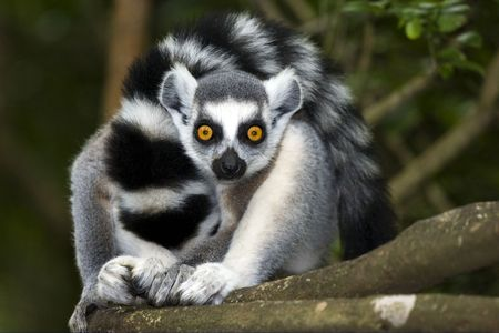 ringtailed lemur looking straight ahead in forest