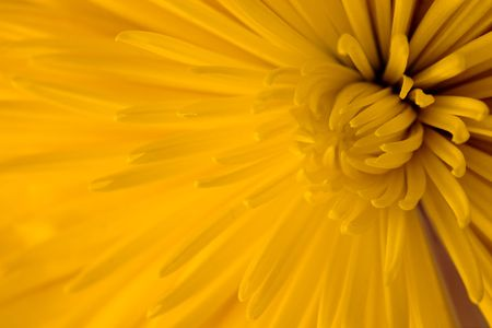 close-up of rich yellow dahlia flower