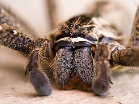 macro shot of the face of a rain spider