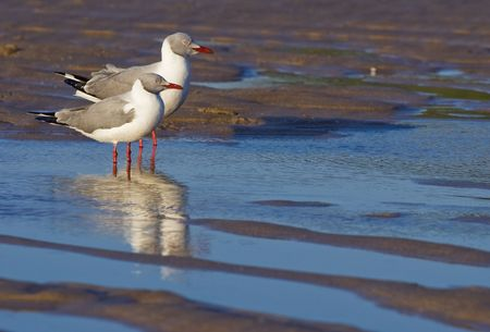 two greyheaded gulls standing side by side in a puddle of  Stock Photo
