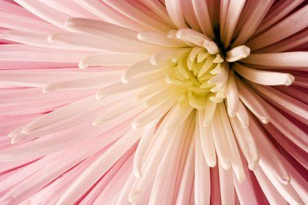 close-up of pink dahlia with petal detail